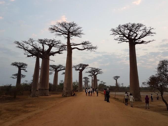 马达加斯加——猴面包树