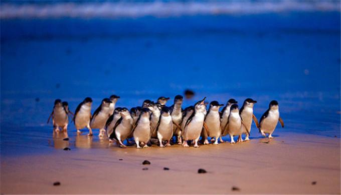 去墨尔本必看 菲利普岛超萌小企鹅游行