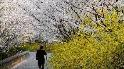 滨州樱花山风景区门票