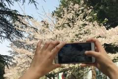 赴一场春天的约会--武汉樱花之旅