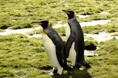 走近南极——企鹅(276)