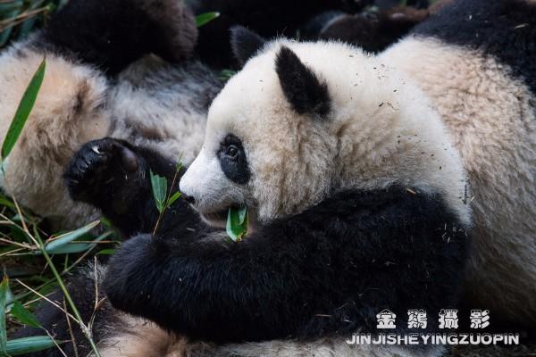 游记           熊猫,集懒,憨,顽,趣于一身,确实是世界上最可爱的动