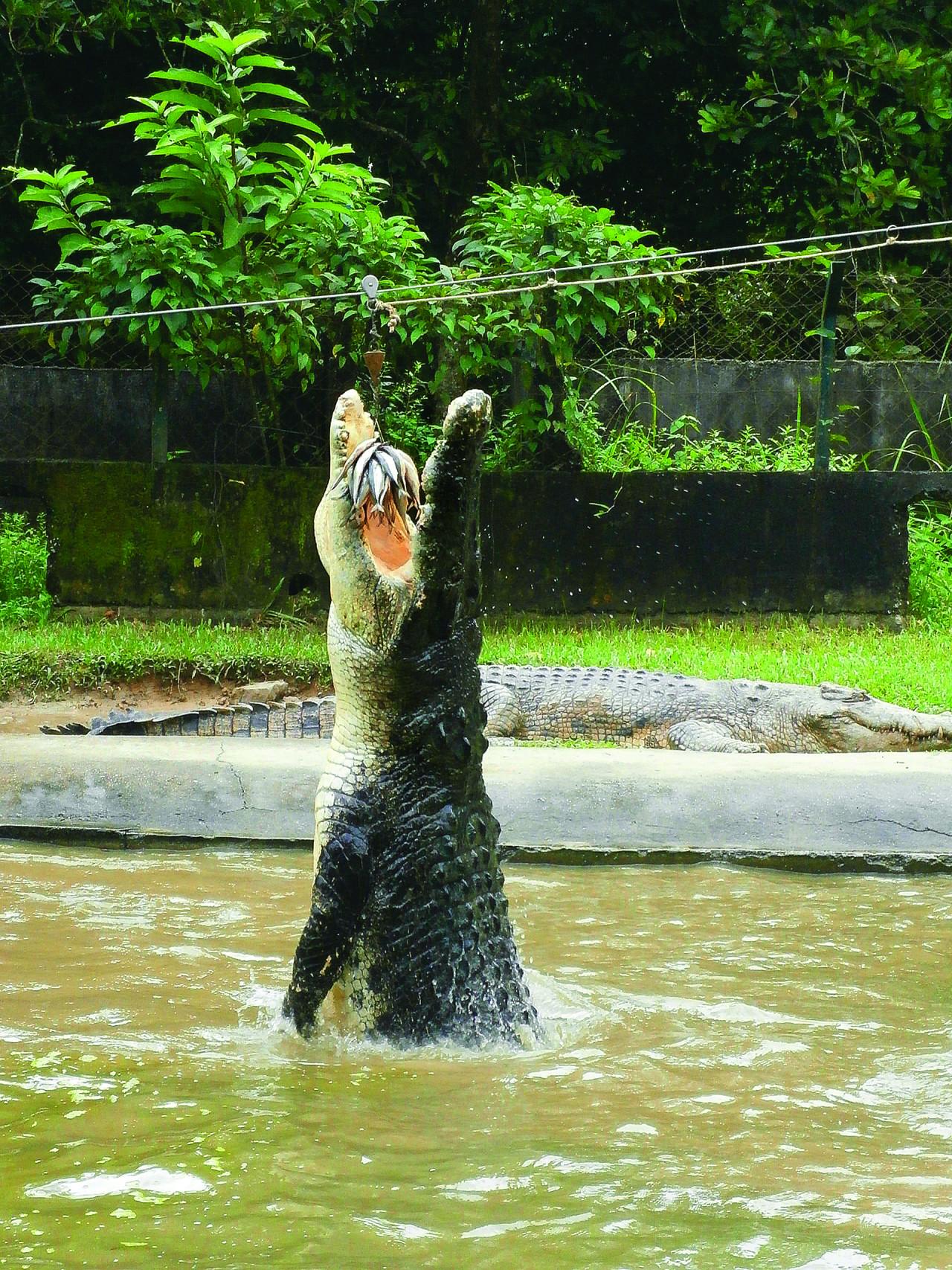 兰卡威野生动物园:在园内发现来自世界不同地区的动物和鸟类 鳄鱼世界