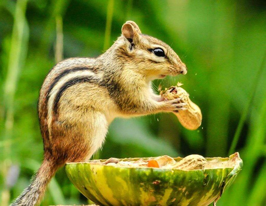 松鼠谷中有2000余只不同品种的松鼠,腹部为红色的红腹松鼠,头赤腹黄