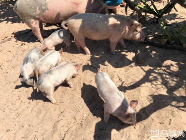 巴哈马 游记   经过了一些无名小岛之后,我们就到了期待已久的猪岛.