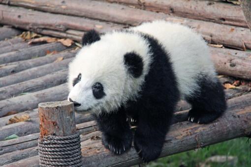 杭州飛機往返成都 大熊貓基地 黃龍風景區 都江堰 青城山真純玩5天4晚