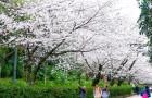 上海樱花开花时间图片