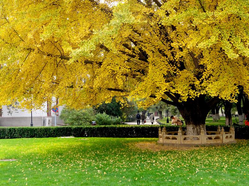 北京银杏树_北京大学西门老银杏树 - 蚂蜂窝