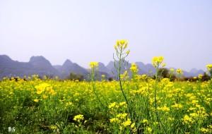 【大圩图片】【桂林-大圩-油菜花】是桂林市民休闲踏春的好去处!