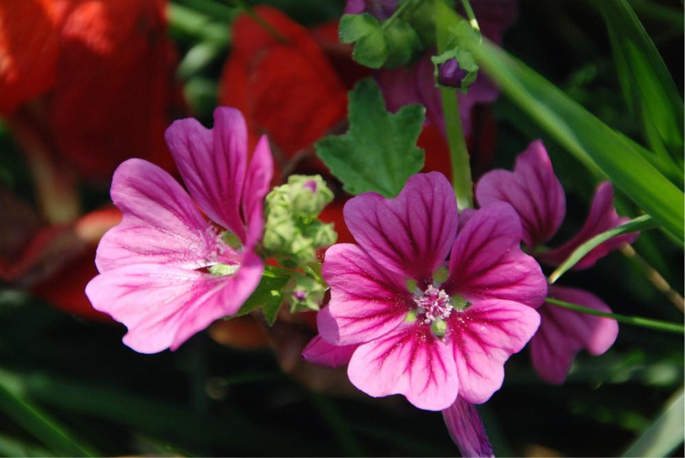 锦葵科_锦葵科的姊妹花——蜀葵、锦葵、木槿 - 蚂蜂窝