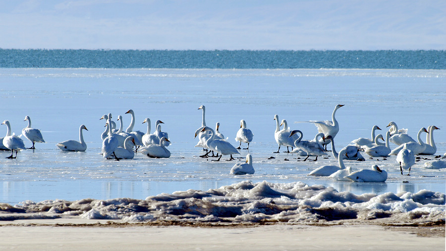 birds in qinghai lake