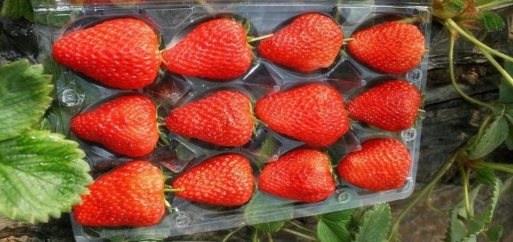 北京珍香草莓园