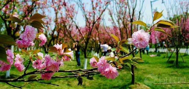 青白江凤凰湖樱花节