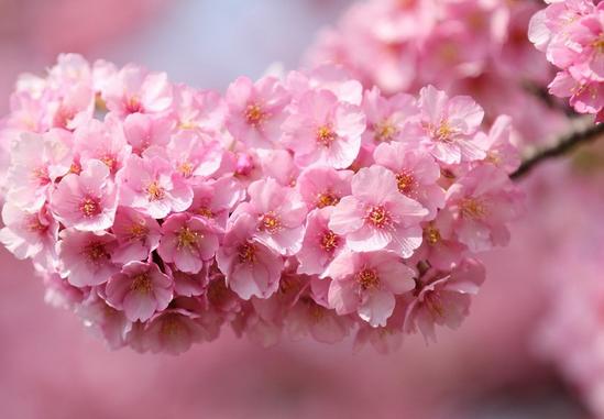 武汉樱花开花时间图片