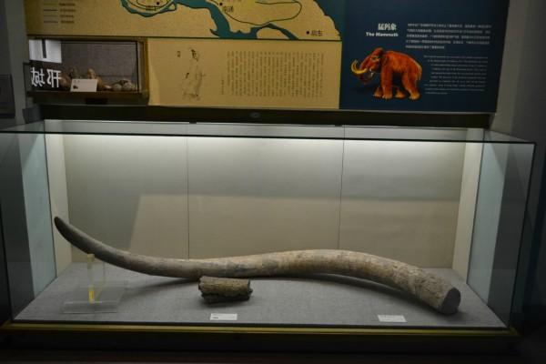 扬州/象牙化石