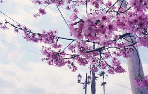 【长崎图片】桜のお花見·「春」是樱的旅程{福冈-指宿-长崎-大分-熊本-京都-大阪}