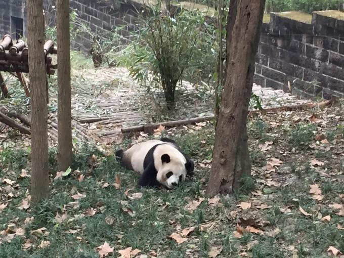 壁纸 大熊猫 动物 680_510