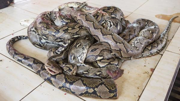 森林大蟒蛇100米长图片